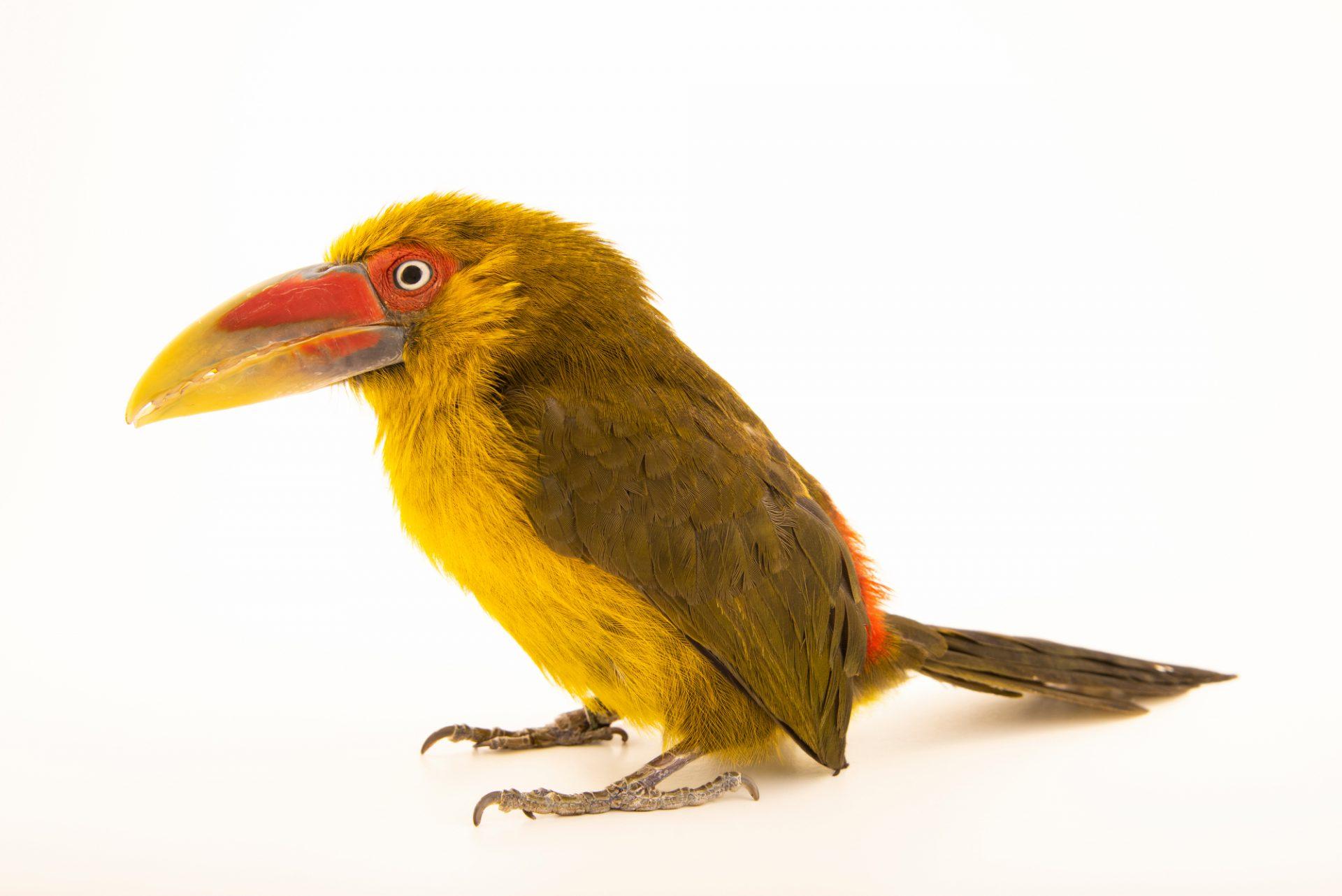 Photo: A male saffron toucanet (Baillonius bailloni) at the Dallas World Aquarium.