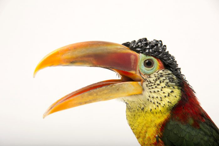 A curl-crested aracari (Pteroglossus beauharnaesii) at the Dallas World Aquarium.