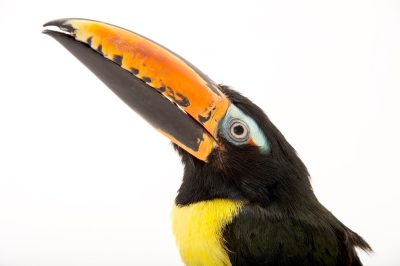 Photo: A Northwestern lettered aracari (Pteroglossus inscriptus humbolti) at the Dallas World Aquarium.