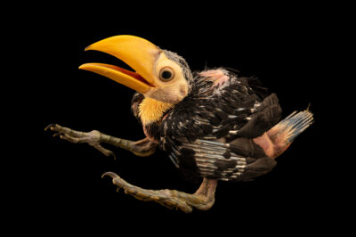 Photo: A one-month old toco toucan (Ramphastos toco) at the Avian Biodiversity Center.