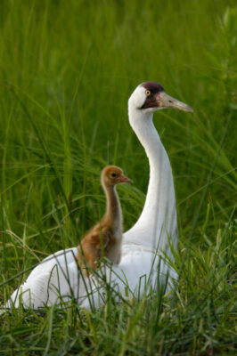 An adult whooping crane (Grus americana), tends to a chick in a public exhibit area at the International Crane Foundation in Baraboo, WI. It is one of a pair of adults, raising a chick that is not their own, searching for food to bring it within their display marsh.