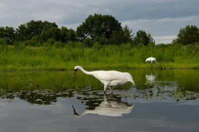 A pair of adult whooping cranes, (Grus americana), tend to a chick in a public exhibit area at the International Crane Foundation in Baraboo, WI. They are raising a chick that is not their own, searching for food to bring it within their display marsh.