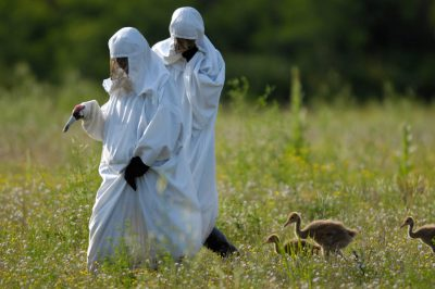 Whooping cranes, (Grus americana), and their costumed trainers at the International Crane Foundation in Baraboo, WI.