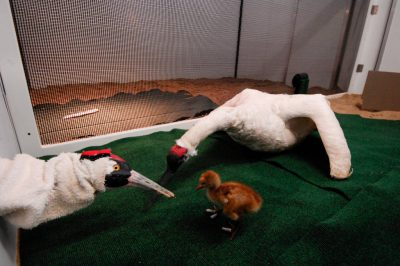 Photo: A biologist feeds a whooping crane chick with a hand puppet.