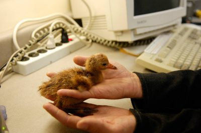 A whooper chick, (Grus americana), hatches at the International Crane Foundation in Baraboo, WI.