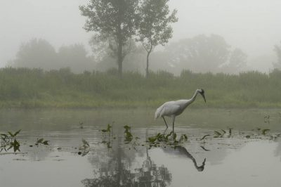 An adult whooping crane (Grus americana) forages for food in a display marsh at the International Crane Foundation in Baraboo, WI. It is one of a pair of adults, raising a chick that is not their own, as part of a recovery program for the species.