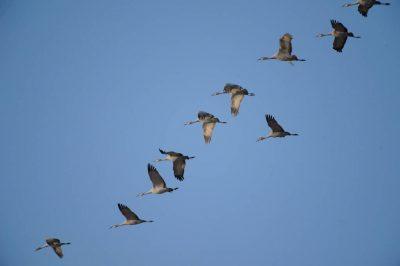 Sandhill cranes (Grus canadensis) at Rowe Audubon Sanctuary on the Platte River.