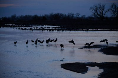 Sandhill cranes (Grus canadensis) at Rowe Audubon Sanctuary on the Platte River.
