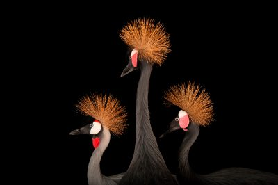 A grey crowned crane (Balearica regulorum) with a pair of West African black-crowned cranes (Balearica pavonina pavonina) at the Columbus Zoo, Columbus, Ohio.