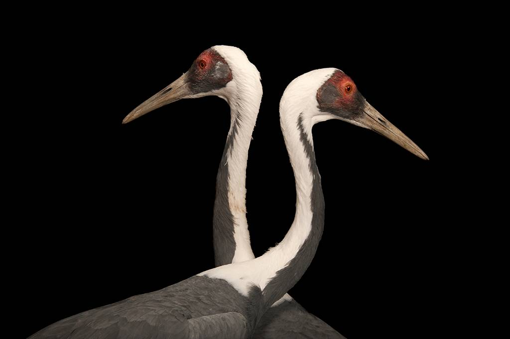 Two vulnerable (IUCN) and federally endangered white-naped cranes (Antigone vipio) at the Columbus Zoo, Columbus, Ohio.