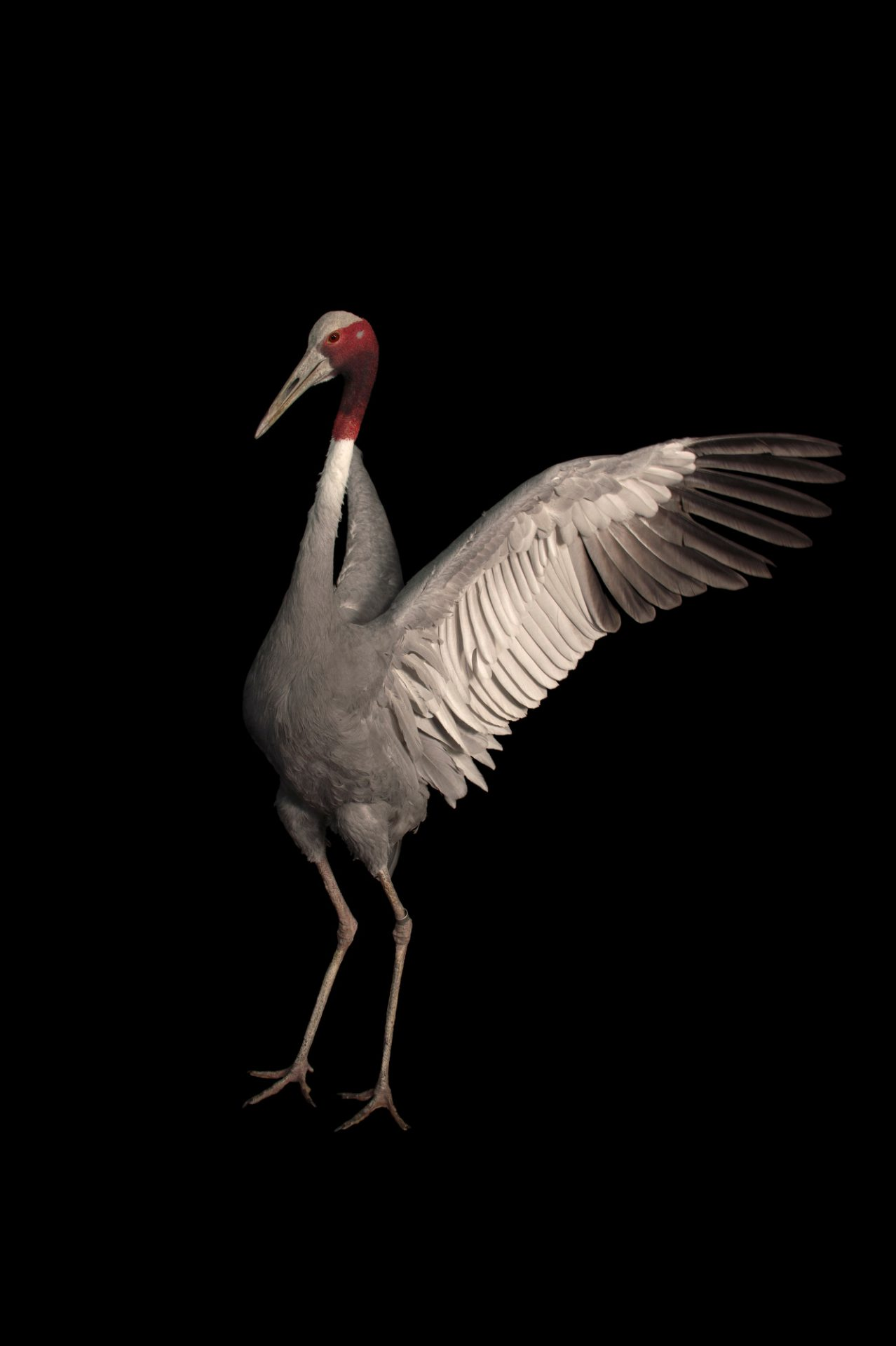 A vulnerable sarus crane (Grus antigone) at the Cheyenne Mountain Zoo in Colorado Springs, CO.