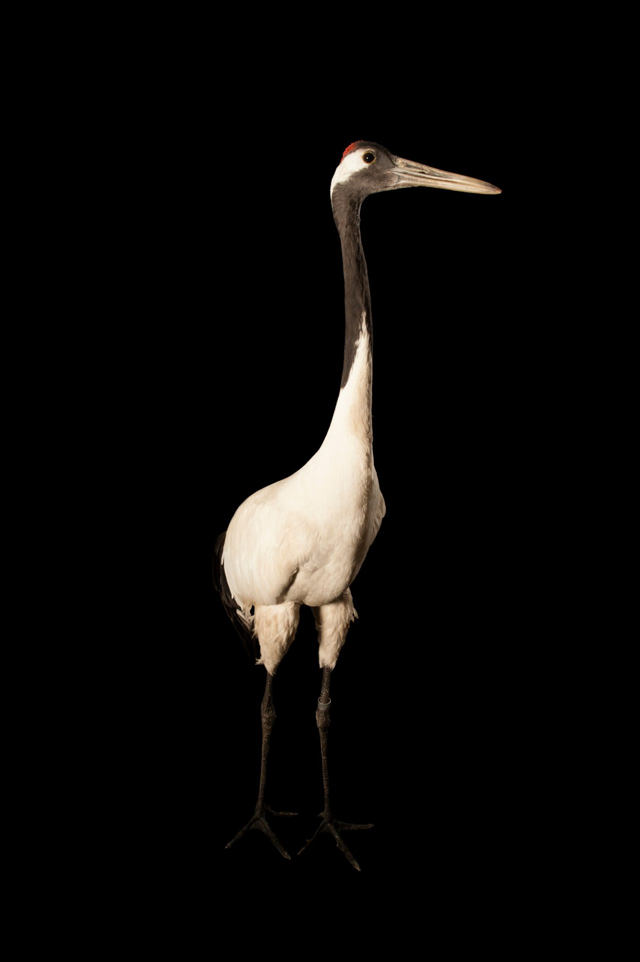 An endangered (IUCN) and federally endangered red-crowned crane (Grus japonensis) at the Kansas City Zoo.