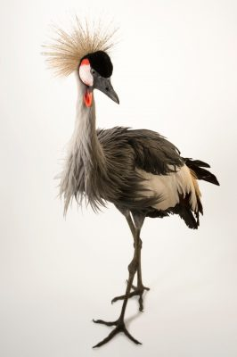 South African crowned crane (Balearica regulorum regulorum) at Parc des Oiseaux in Villars Les Dombes, France.