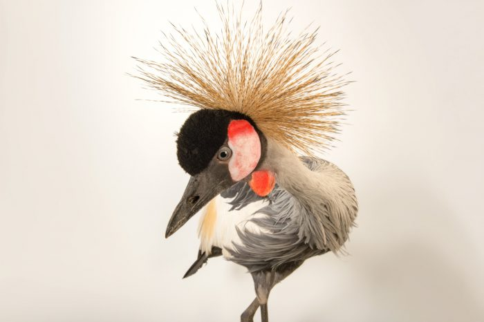 South African crowned crane (Balearica regulorum regulorum) at Parc des Oiseaux in Villars Les Dombes, France.