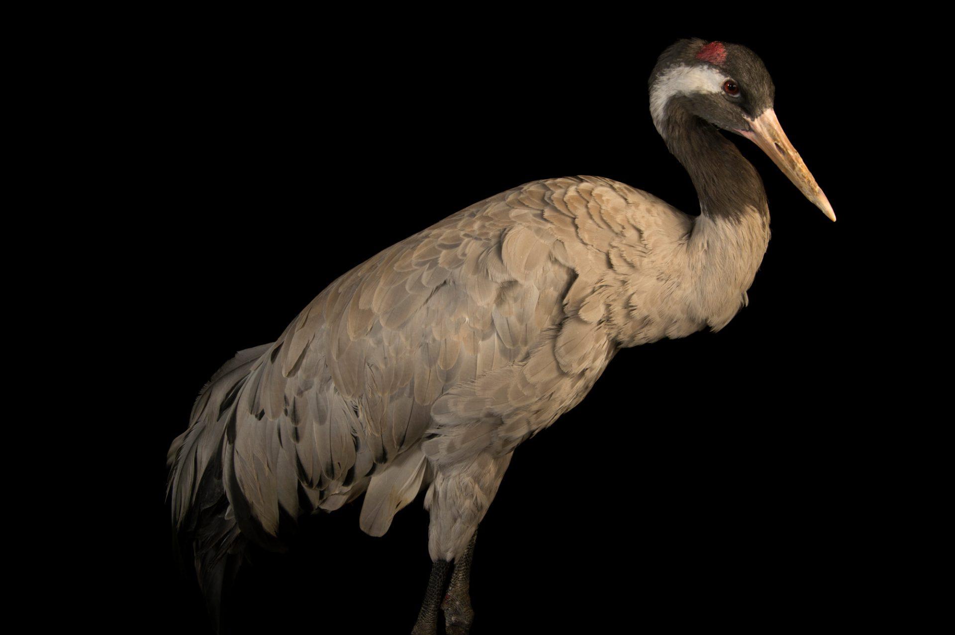 Photo: Eurasian grey crane (Grus grus grus) at Parc des Oiseaux in Villars Les Dombes, France.