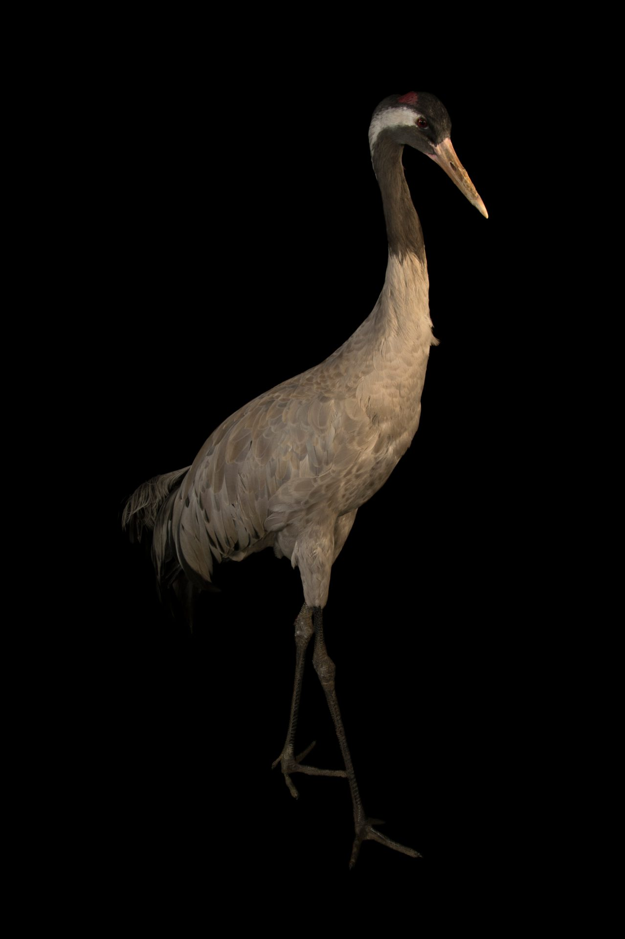 Photo: Eurasian (grey) crane (Grus grus grus) at Parc des Oiseaux in Villars Les Dombes, France.