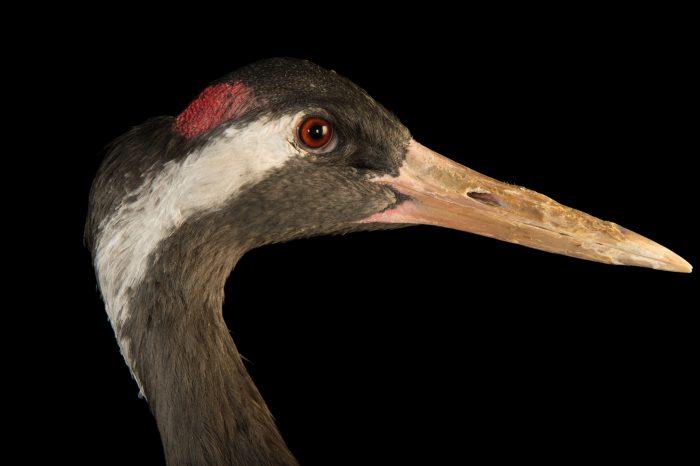 Photo: Eurasian (grey) crane (Grus grus grus) at Parc des Oiseaux in Villars Les Dombes, France.