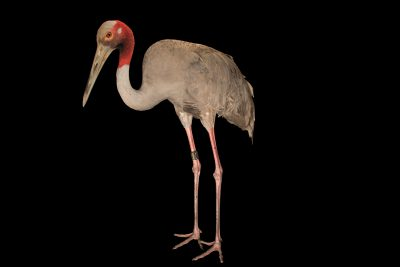 Photo: Indochinese sarus crane (Antigone antigone sharpii) at Angkor Center for Conservation of Biodiversity (ACCB). This species is listed as Vulnerable on IUCN.