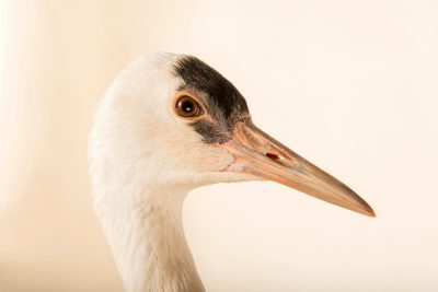 Photo: A hooded crane (Grus monacha) at the Oklahoma City Zoo. This species is listed as vulnerable according to IUCN.
