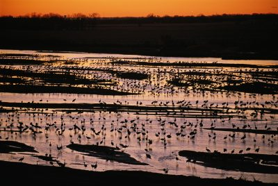 Photo: Sandhill cranes roost along the Platte River near Kearney, Nebraska.