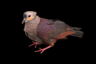 A crested quail-dove (Geotrygon versicolor) at the Houston Zoo.