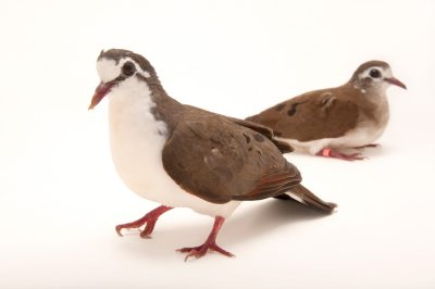 A male and female tambourine dove (Turtur tympanistria) at the Houston Zoo. This pair is particularly nervous and have to be approached in a sensitive manner.