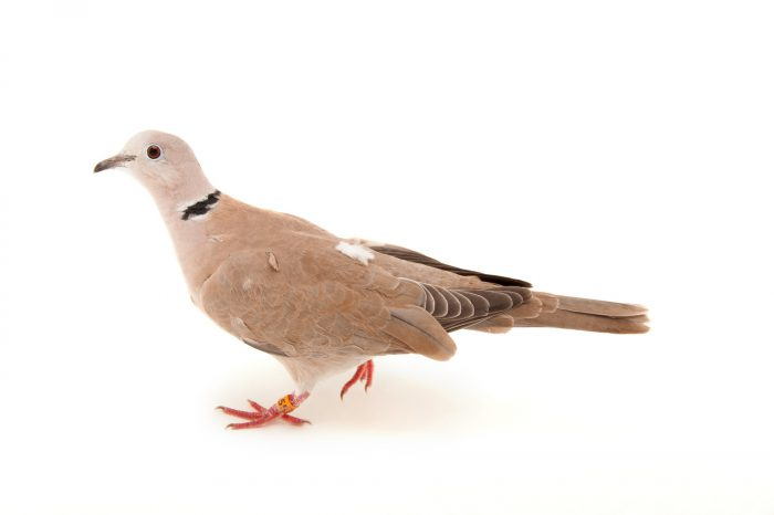 An African collared or barbary dove (Streptopelia roseogrisea) at the Sedgwick County Zoo in Wichita, Kansas.