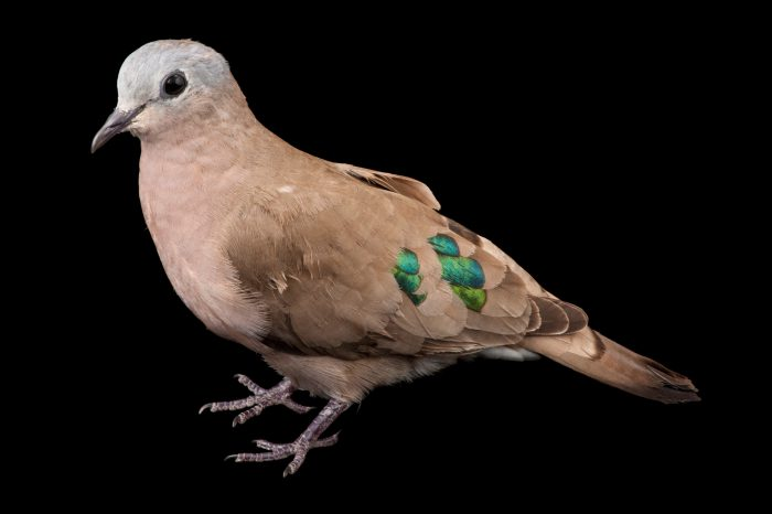 Emerald-spotted wood dove (Turtur chalcospilos) at Chitengo Camp in Gorongosa National Park in Mozambique, Africa.