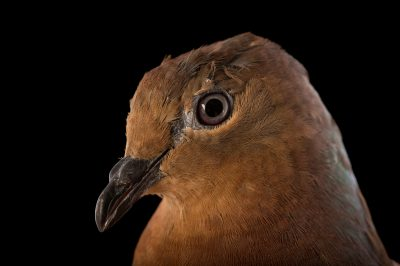 Picture of a brown cuckoo dove (Macropygia amboinensis) named Maurice at Wild Life Sydney Zoo.