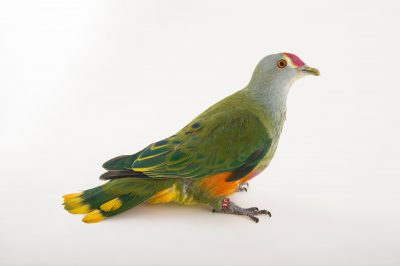 Picture of a rose crown fruit dove (Ptilinopus regina) named Cecil at Wild Life Sydney Zoo.