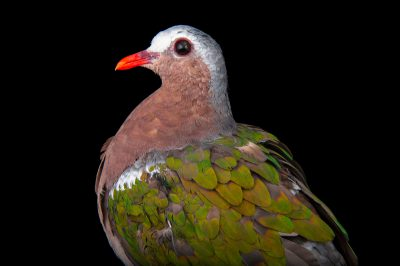 A common emerald dove or green-winged dove (Chalcophaps indica indica) from the Gladys Porter Zoo in Brownsville, Texas.