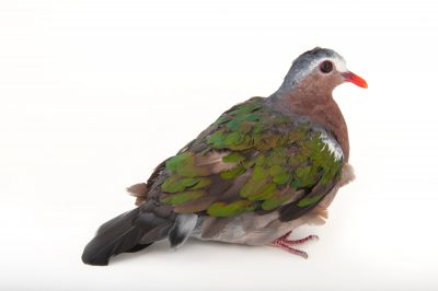 A green-winged dove (Chalcophaps indica indica) from the Gladys Porter Zoo in Brownsville, Texas.