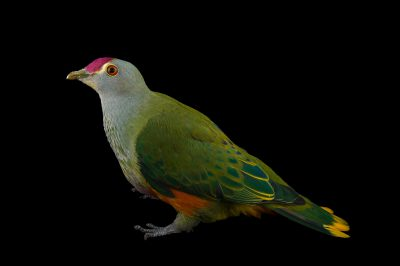 Picture of a rose crown fruit dove (Ptilinopus regina) at the Wild Life Sydney Zoo.