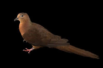 Picture of a brown cuckoo dove (Macropygia amboinensis) at the Wild Life Sydney Zoo.