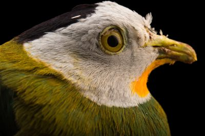 Picture of a male black-naped fruit dove (Ptilinopus melanospila) at the Oklahoma City Zoo.