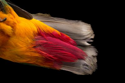 Picture of the tail of a male black-naped fruit dove (Ptilinopus melanospila) at the Oklahoma City Zoo.