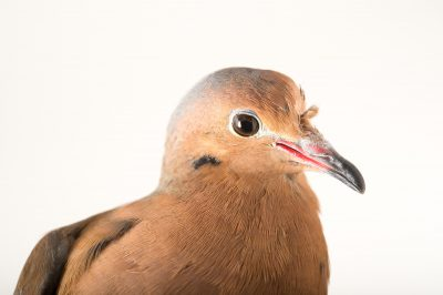 Picture of a female Socorro dove (Zenaida graysoni) named 'Doc' at the Tracy Aviary.