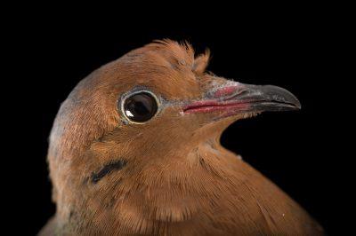 Picture of a female Socorro dove (Zenaida graysoni) named 'Doc' at the Tracy Aviary.