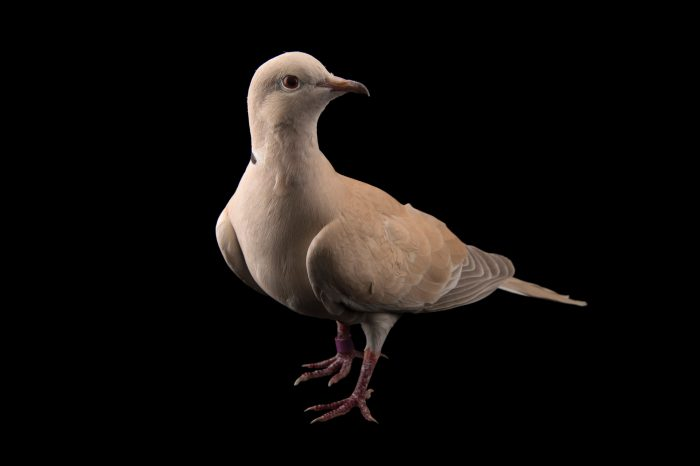 Picture of a Eurasian collared dove (Streptopelia decaocto) named Kathleen at the Santa Fe College Teaching Zoo.