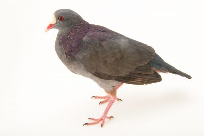 Picture of an endangered white-fronted quail-dove (Geotrygon leucometopia) from a private collection in the Dominican Republic.
