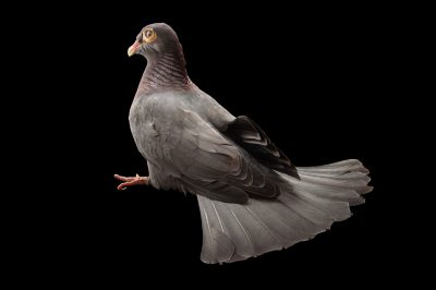 Picture of a scaly-naped pigeon (Patagioenas squamosa) from a private collection in the Dominican Republic.