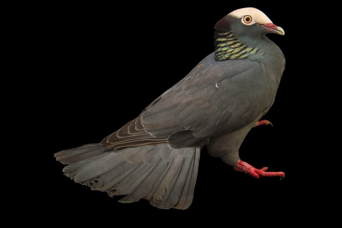 Picture of a vulnerable white-crowned pigeon (Patagioenas leucocephala) from a private collection in the Dominican Republic.