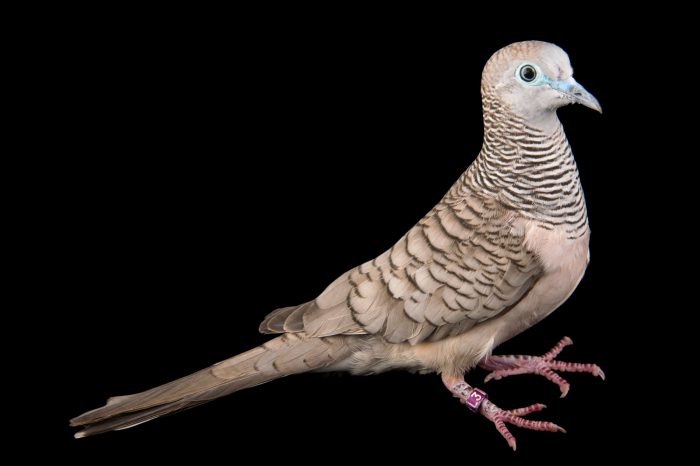 Picture of a peaceful dove (Geopelia placida) at Healesville Sanctuary.
