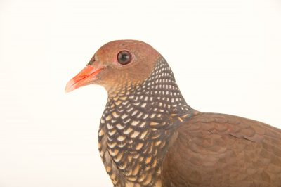 Picture of a scaled pigeon (Columba speciosa) at the Nispero Zoo in Panama.