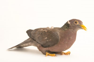 Picture of a band-tailed pigeon (Columba fasciata crissalis) at the Nispero Zoo.