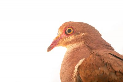 Picture of a ruddy quail-dove (Geotrygon montana) at the Nispero Zoo.