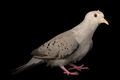 Picture of a blue ground dove (Claravis pretiosa) at the Nispero Zoo.