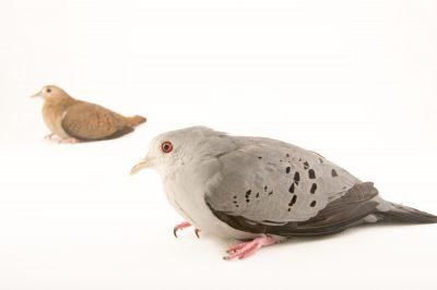 Picture of blue ground doves (Claravis pretiosa) at the Nispero Zoo.