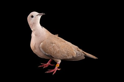 An African collared dove (Streptopelia roseogrisea) at the Sedgwick County Zoo.