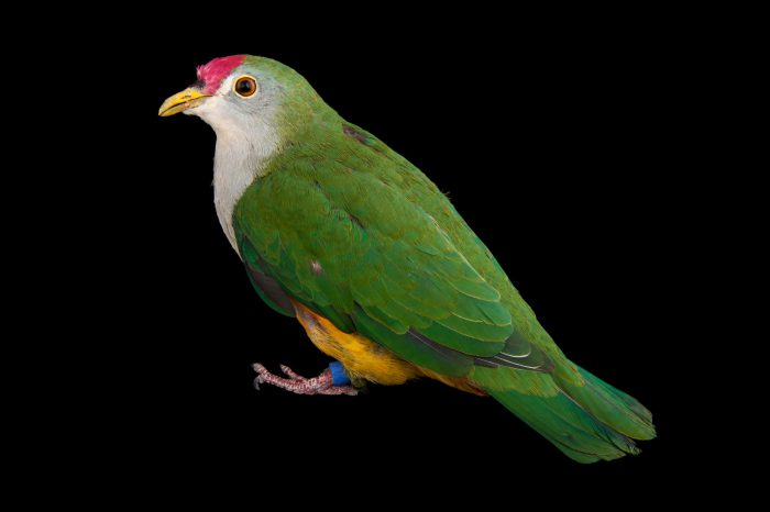 A beautiful fruit dove (Ptilinopus pulchellus) at the Sedgwick County Zoo.